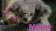 怖いコアラ